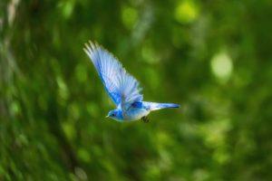 hummingbird vawiini